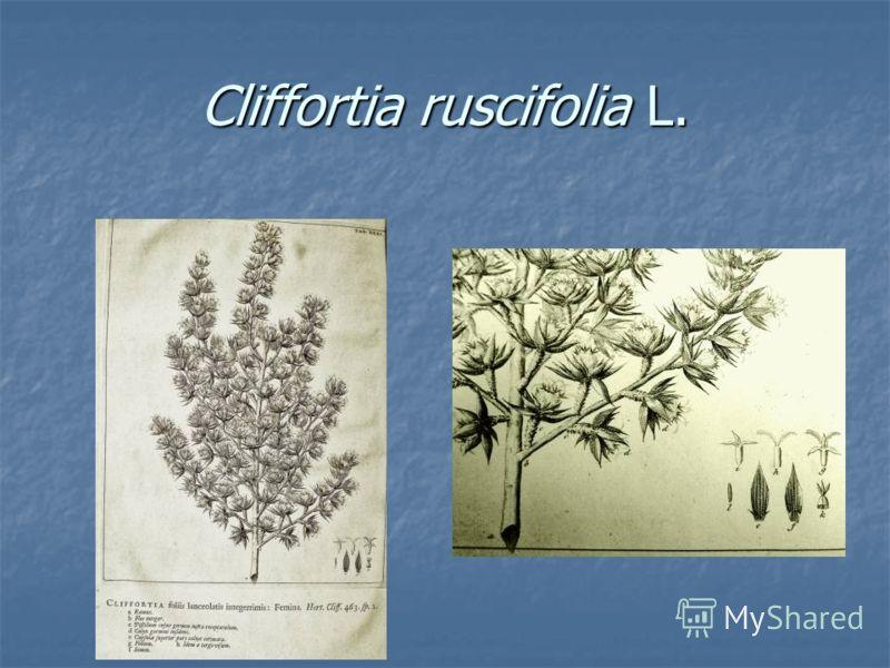 Cliffortia ruscifolia L.