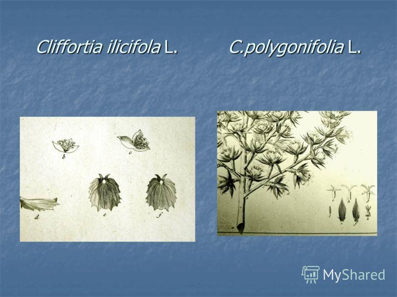 Cliffortia ilicifola L. C.polygonifolia L.