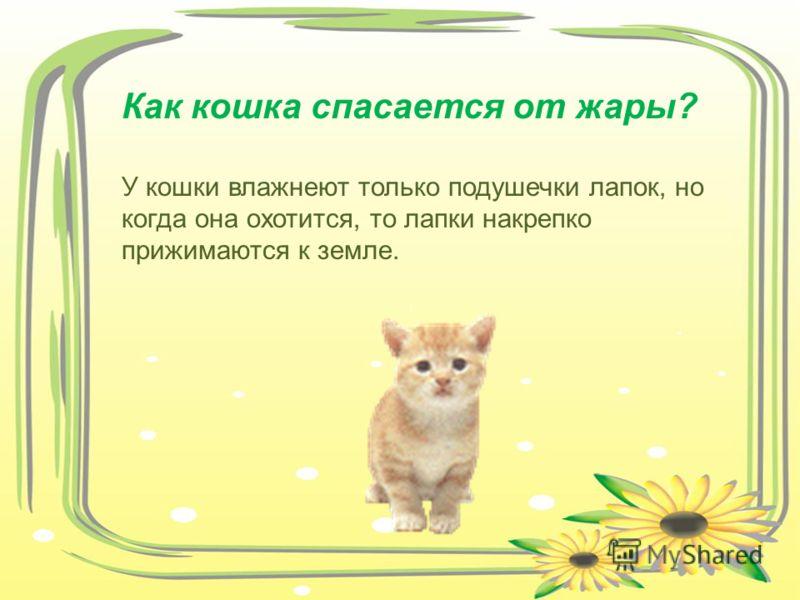 Как кошка спасается от жары? У кошки влажнеют только подушечки лапок, но когда она охотится, то лапки накрепко прижимаются к земле.