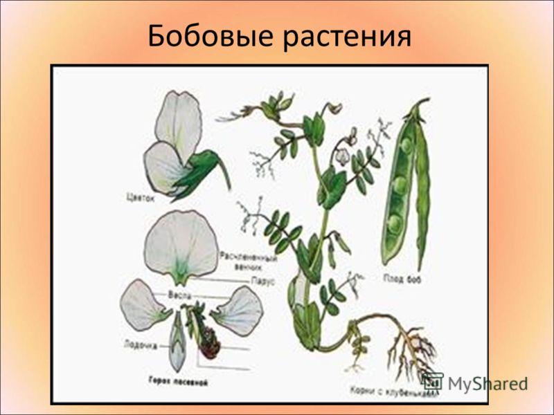 Бобовые растения