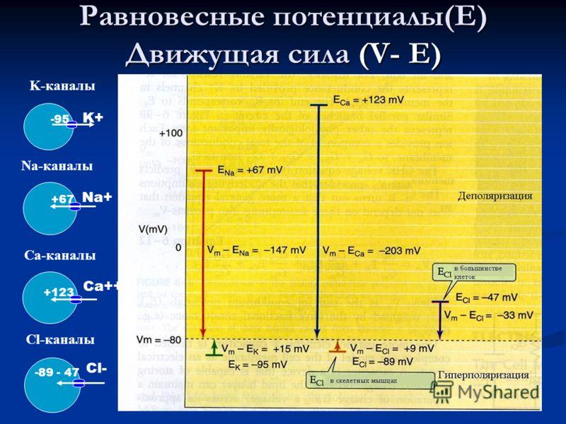 10 Равновесные потенциалы(Е) Движущая сила (V- Е) K+K+ -95 K-каналы Na+ +67 Na-каналы Ca++ +123 Ca-каналы Cl- -89 - 47 Cl-каналы