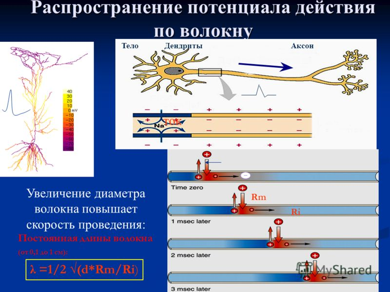 28 Распространение потенциала действия по волокну ТелоДендритыАксон Увеличение диаметра волокна повышает скорость проведения: Постоянная длины волокна (от 0,1 до 1 см): ток Rm Ri λ =1/2 (d*Rm/Ri)
