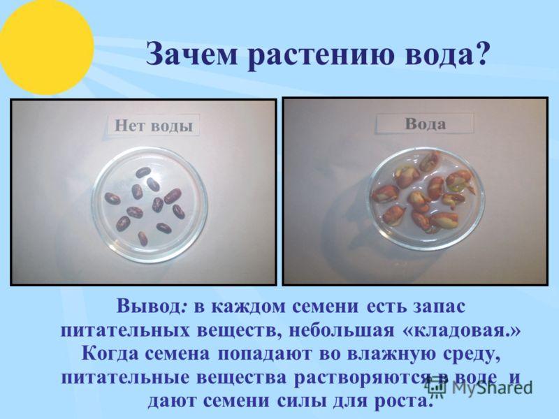 Зачем растению вода? Вывод: в каждом семени есть запас питательных веществ, небольшая «кладовая.» Когда семена попадают во влажную среду, питательные вещества растворяются в воде и дают семени силы для роста.