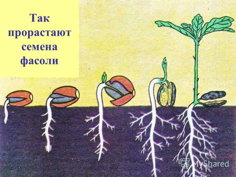 Так прорастают семена фасоли