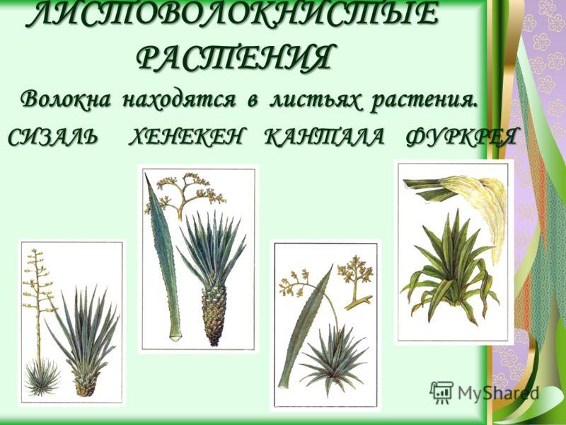 ЛИСТОВОЛОКНИСТЫЕ РАСТЕНИЯ Волокна находятся в листьях растения. Волокна находятся в листьях растения. СИЗАЛЬ ХЕНЕКЕН КАНТАЛА ФУРКРЕЯ