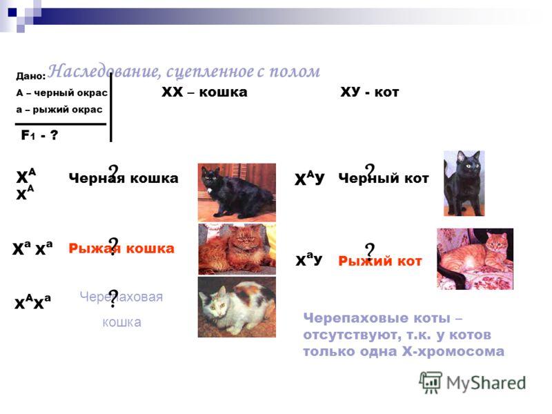 Наследование, сцепленное с полом Дано: А – черный окрас а – рыжий окрас F 1 - ? ХАХАХАХА ХХ – кошка ХУ - кот Черная кошка Х а Рыжая кошка ХАХаХАХа Черепаховая кошка ХАУХАУ Черный кот Х а УРыжий кот ? ? ? ? ? Черепаховые коты – отсутствуют, т.к. у кот
