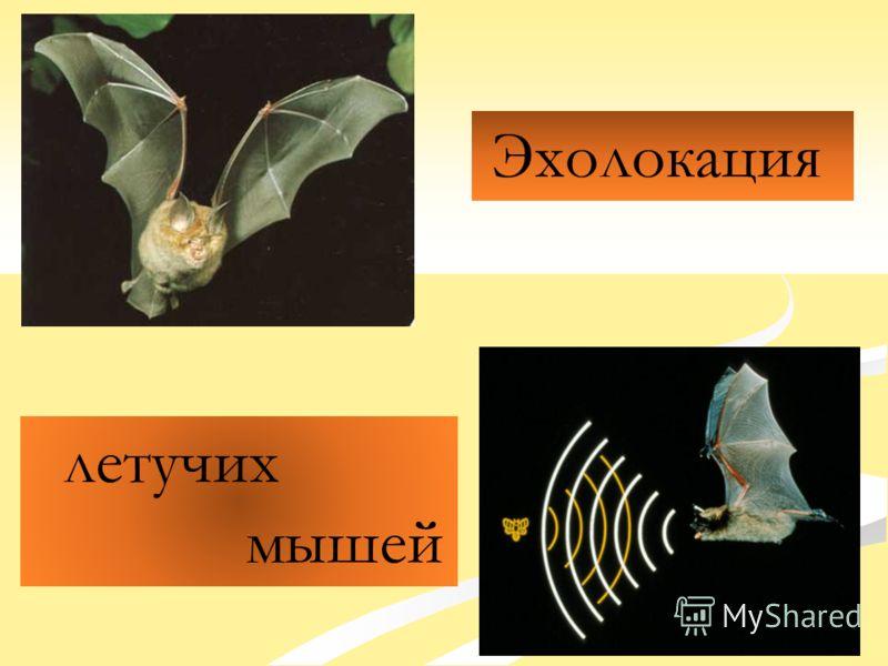 Эхолокация летучих мышей