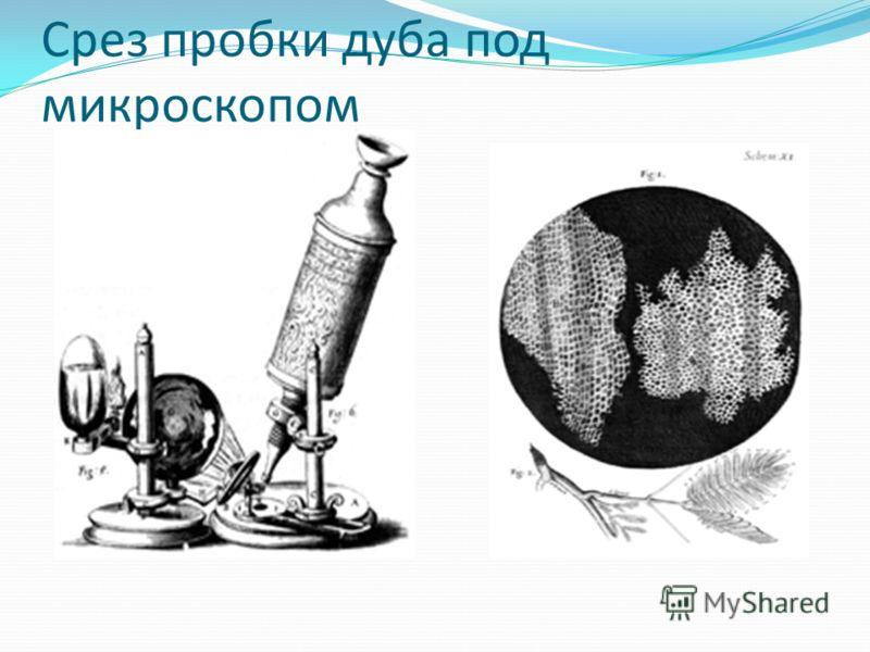 Срез пробки дуба под микроскопом