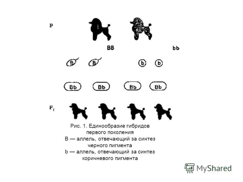 Рис. 1. Единообразие гибридов первого поколения В аллель, отвечающий за синтез черного пигмента b аллель, отвечающий за синтез коричневого пигмента