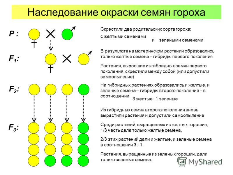 Наследование окраски семян гороха с желтыми семенами Растения, выросшие из гибридных семян первого поколения, скрестили между собой (или допустили самоопыление) В результате на материнском растении образовались только желтые семена – гибриды первого