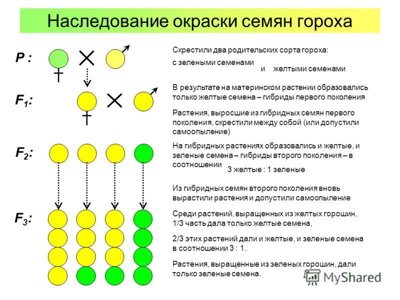 Наследование окраски семян гороха с зелеными семенами Растения, выросшие из гибридных семян первого поколения, скрестили между собой (или допустили самоопыление) В результате на материнском растении образовались только желтые семена – гибриды первого