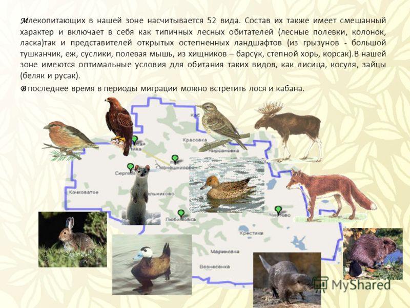 М лекопитающих в нашей зоне насчитывается 52 вида. Состав их также имеет смешанный характер и включает в себя как типичных лесных обитателей (лесные полевки, колонок, ласка)так и представителей открытых остепненных ландшафтов (из грызунов - большой т