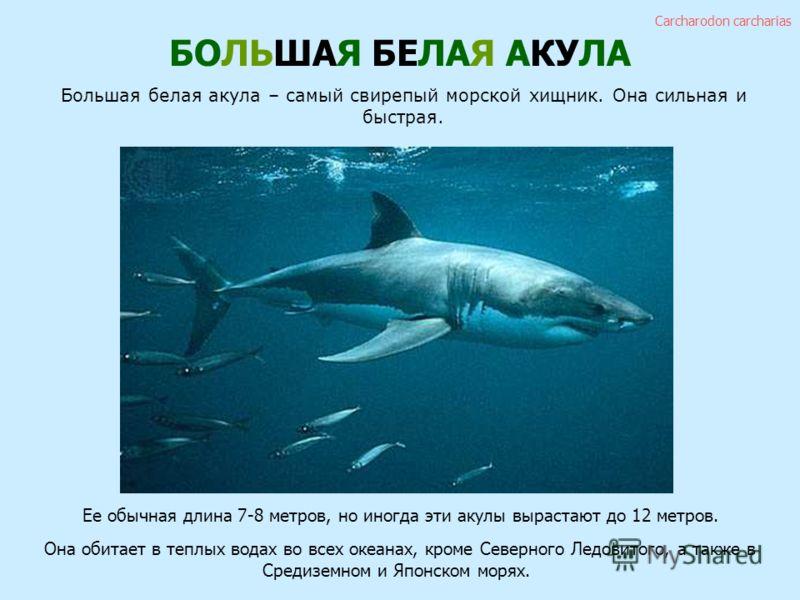 БОЛЬШАЯ БЕЛАЯ АКУЛА Большая белая акула – самый свирепый морской хищник. Она сильная и быстрая. Ее обычная длина 7-8 метров, но иногда эти акулы вырастают до 12 метров. Она обитает в теплых водах во всех океанах, кроме Северного Ледовитого, а также в