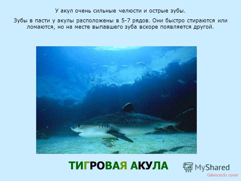 У акул очень сильные челюсти и острые зубы. Зубы в пасти у акулы расположены в 5-7 рядов. Они быстро стираются или ломаются, но на месте выпавшего зуба вскоре появляется другой. ТИГРОВАЯ АКУЛА Galeocerdo cuvier У акул очень сильные челюсти и острые з