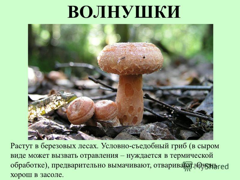 ВОЛНУШКИ Растут в березовых лесах. Условно-съедобный гриб (в сыром виде может вызвать отравления – нуждается в термической обработке), предварительно вымачивают, отваривают. Очень хорош в засоле.