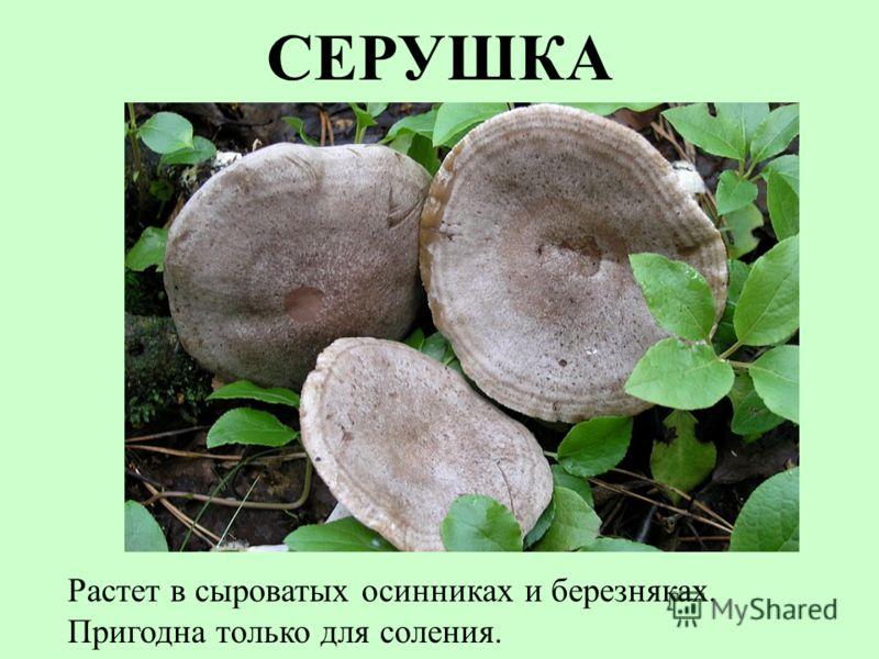 СЕРУШКА Растет в сыроватых осинниках и березняках. Пригодна только для соления.