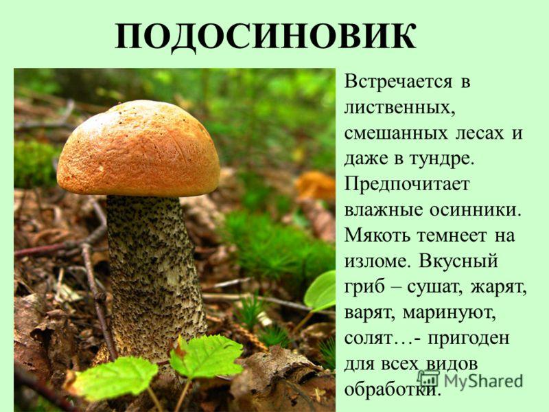 ПОДОСИНОВИК Встречается в лиственных, смешанных лесах и даже в тундре. Предпочитает влажные осинники. Мякоть темнеет на изломе. Вкусный гриб – сушат, жарят, варят, маринуют, солят…- пригоден для всех видов обработки.