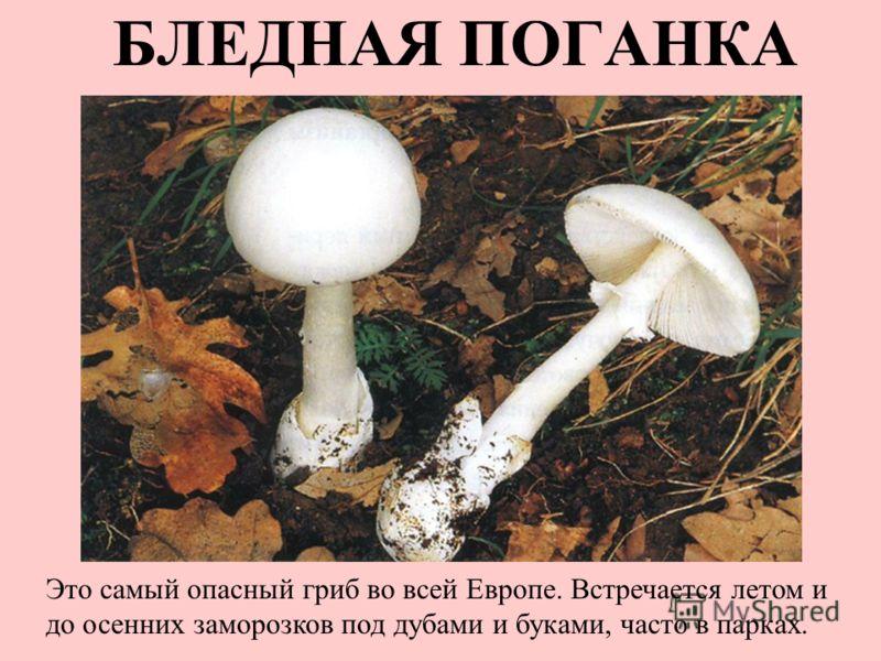 БЛЕДНАЯ ПОГАНКА Это самый опасный гриб во всей Европе. Встречается летом и до осенних заморозков под дубами и буками, часто в парках.
