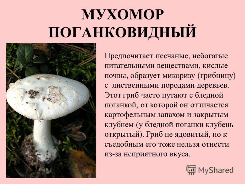 МУХОМОР ПОГАНКОВИДНЫЙ Предпочитает песчаные, небогатые питательными веществами, кислые почвы, образует микоризу (грибницу) с лиственными породами деревьев. Этот гриб часто путают с бледной поганкой, от которой он отличается картофельным запахом и зак