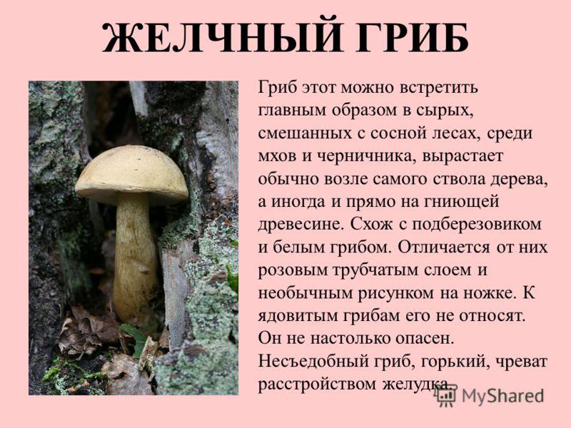 ЖЕЛЧНЫЙ ГРИБ Гриб этот можно встретить главным образом в сырых, смешанных с сосной лесах, среди мхов и черничника, вырастает обычно возле самого ствола дерева, а иногда и прямо на гниющей древесине. Схож с подберезовиком и белым грибом. Отличается от