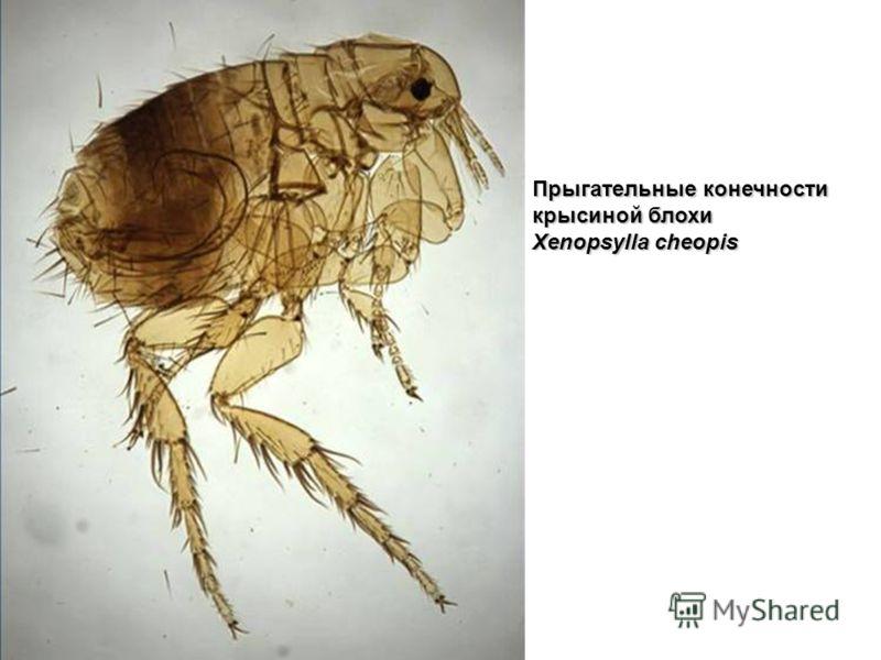 Прыгательные конечности крысиной блохи Xenopsylla cheopis