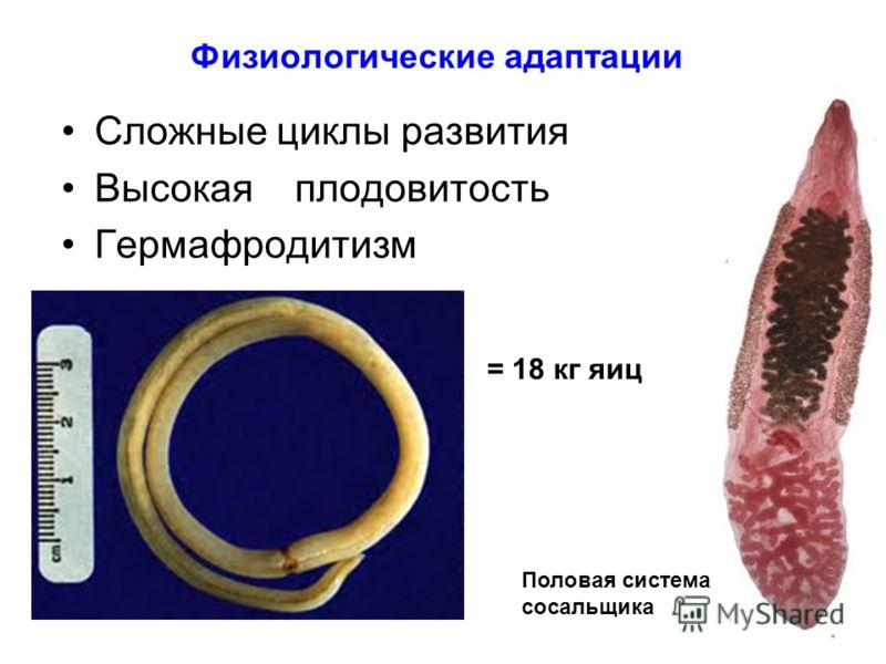 Физиологические адаптации Сложные циклы развития Высокая плодовитость Гермафродитизм Половая система сосальщика = 18 кг яиц