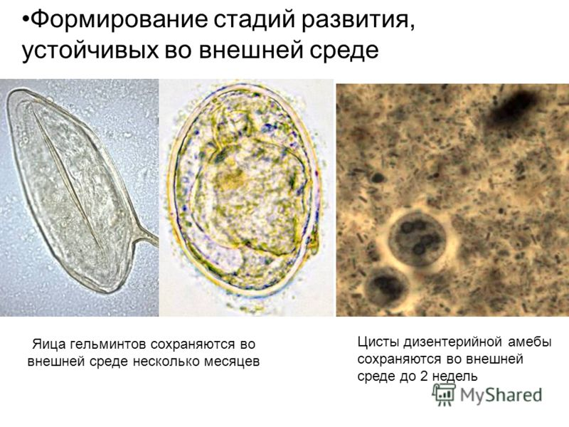 Яица гельминтов сохраняются во внешней среде несколько месяцев Формирование стадий развития, устойчивых во внешней среде Цисты дизентерийной амебы сохраняются во внешней среде до 2 недель