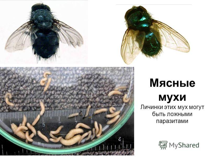 Мясные мухи Личинки этих мух могут быть ложными паразитами