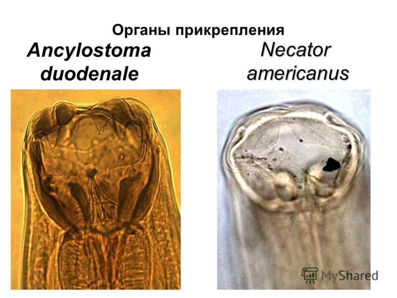 Органы прикрепления Ancylostoma duodenale Necatoramericanus