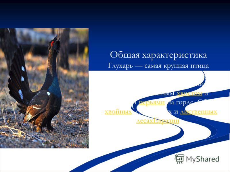 Общая характеристика Глухарь самая крупная птица подсемейства тетеревиных. От других представителей подсемейства отличается сильно округлённым хвостом и удлинёнными перьями на горле. Обитает в хвойных, смешанных и лиственных лесахЕвразии.хвостомперья