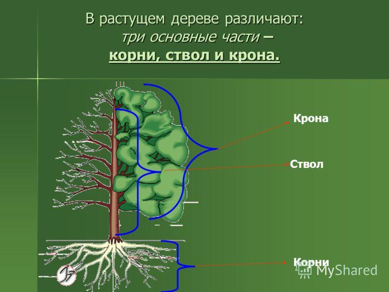 В растущем дереве различают: три основные части – корни, ствол и крона. Крона Ствол Корни