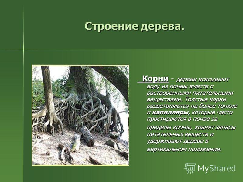 Строение дерева. Корни - дерева всасывают воду из почвы вместе с растворенными питательными веществами. Толстые корни разветвляются на более тонкие и капилляры, которые часто простираются в почве за пределы кроны, хранят запасы питательных веществ и