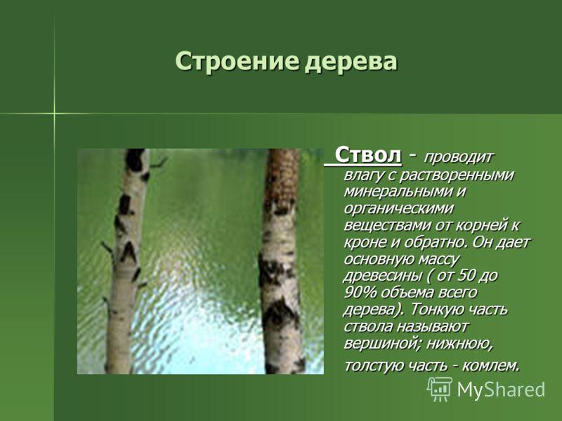 Строение дерева Ствол - проводит влагу с растворенными минеральными и органическими веществами от корней к кроне и обратно. Он дает основную массу древесины ( от 50 до 90% объема всего дерева). Тонкую часть ствола называют вершиной; нижнюю, толстую ч