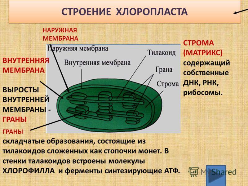 СТРОЕНИЕ ХЛОРОПЛАСТА НАРУЖНАЯ МЕМБРАНА ВНУТРЕННЯЯ МЕМБРАНА СТРОМА (МАТРИКС) содержащий собственные ДНК, РНК, рибосомы. ВЫРОСТЫ ВНУТРЕННЕЙ МЕМБРАНЫ - ГРАНЫ ГРАНЫ складчатые образования, состоящие из тилакоидов сложенных как стопочки монет. В стенки та