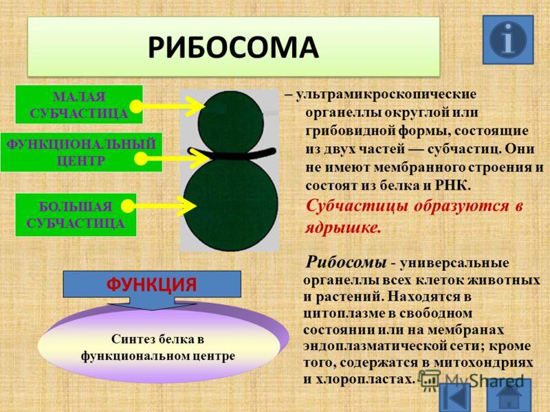 РИБОСОМА РИБОСОМА – ультрамикроскопические органеллы округлой или грибовидной формы, состоящие из двух частей субчастиц. Они не имеют мембранного строения и состоят из белка и РНК. Субчастицы образуются в ядрышке. Рибосомы - универсальные органеллы в