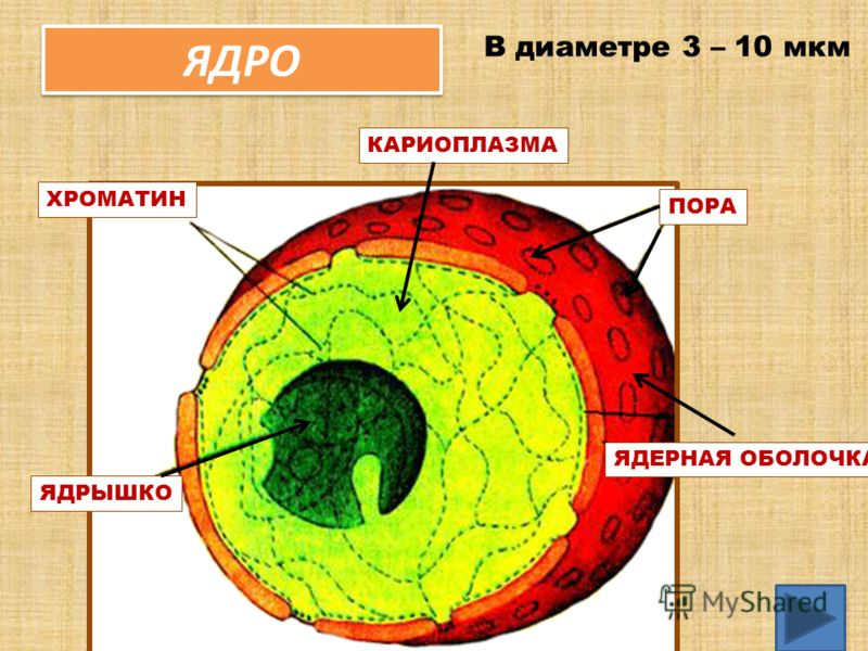 ЯДРО 19 ЯДЕРНАЯ ОБОЛОЧКА ЯДРЫШКО КАРИОПЛАЗМА ХРОМАТИН ПОРА В диаметре 3 – 10 мкм