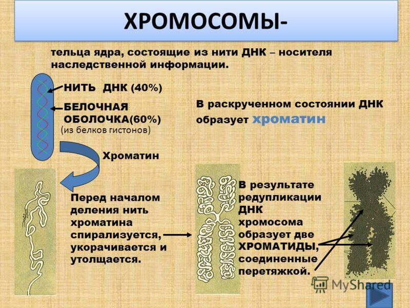 ХРОМОСОМЫ- тельца ядра, состоящие из нити ДНК – носителя наследственной информации. НИТЬ ДНК (40%) БЕЛОЧНАЯ ОБОЛОЧКА(60%) (из белков гистонов) В раскрученном состоянии ДНК образует хроматин Хроматин Перед началом деления нить хроматина спирализуется,