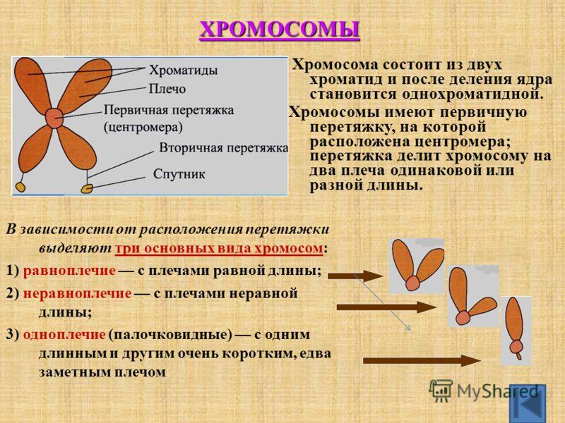 Хромосома состоит из двух хроматид и после деления ядра становится однохроматидной. Хромосомы имеют первичную перетяжку, на которой расположена центромера; перетяжка делит хромосому на два плеча одинаковой или разной длины. В зависимости от расположе