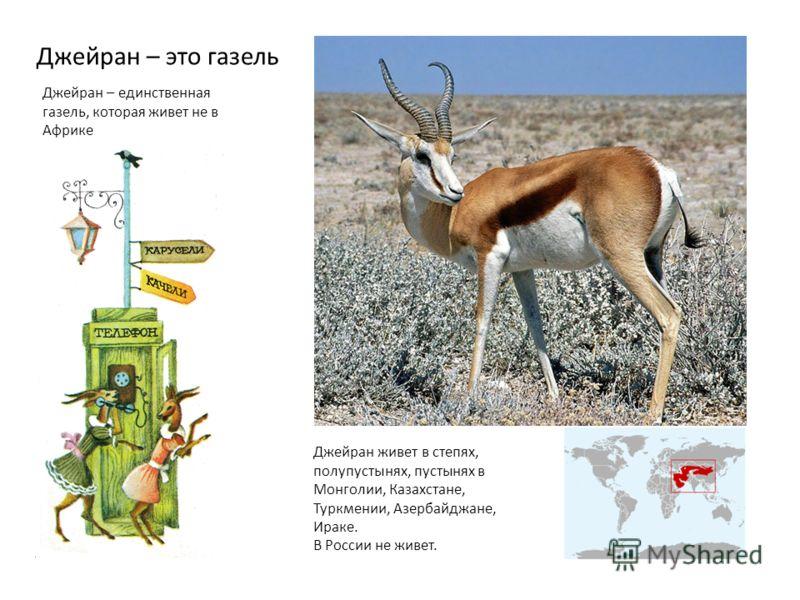 Джейран – единственная газель, которая живет не в Африке Джейран – это газель Джейран живет в степях, полупустынях, пустынях в Монголии, Казахстане, Туркмении, Азербайджане, Ираке. В России не живет.