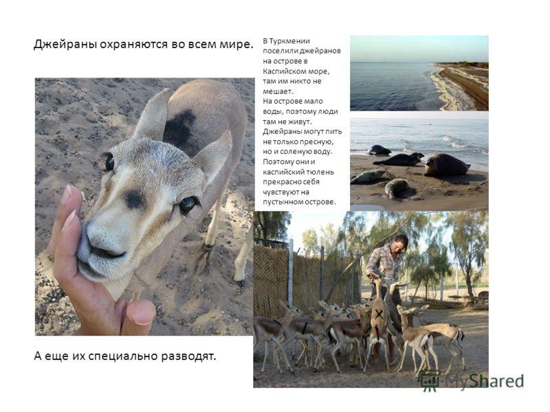 В Туркмении поселили джейранов на острове в Каспийском море, там им никто не мешает. На острове мало воды, поэтому люди там не живут. Джейраны могут пить не только пресную, но и соленую воду. Поэтому они и каспийский тюлень прекрасно себя чувствуют н