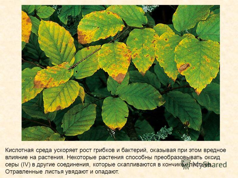 Кислотная среда ускоряет рост грибков и бактерий, оказывая при этом вредное влияние на растения. Некоторые растения способны преобразовывать оксид серы (IV) в другие соединения, которые скапливаются в кончиках листьев. Отравленные листья увядают и оп