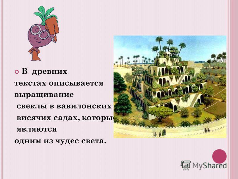 В древних текстах описывается выращивание свеклы в вавилонских висячих садах, которые являются одним из чудес света.