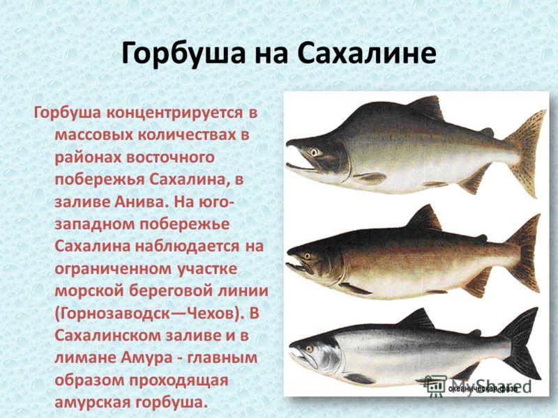 Горбуша на Сахалине Горбуша концентрируется в массовых количествах в районах восточного побережья Сахалина, в заливе Анива. На юго- западном побережье Сахалина наблюдается на ограниченном участке морской береговой линии (ГорнозаводскЧехов). В Сахалин