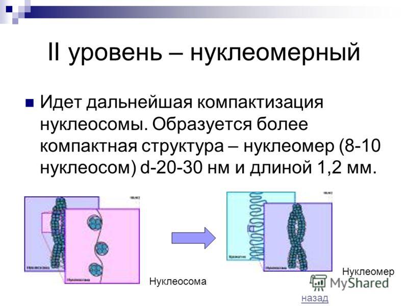 II уровень – нуклеомерный Идет дальнейшая компактизация нуклеосомы. Образуется более компактная структура – нуклеомер (8-10 нуклеосом) d-20-30 нм и длиной 1,2 мм. Нуклеосома Нуклеомер назад