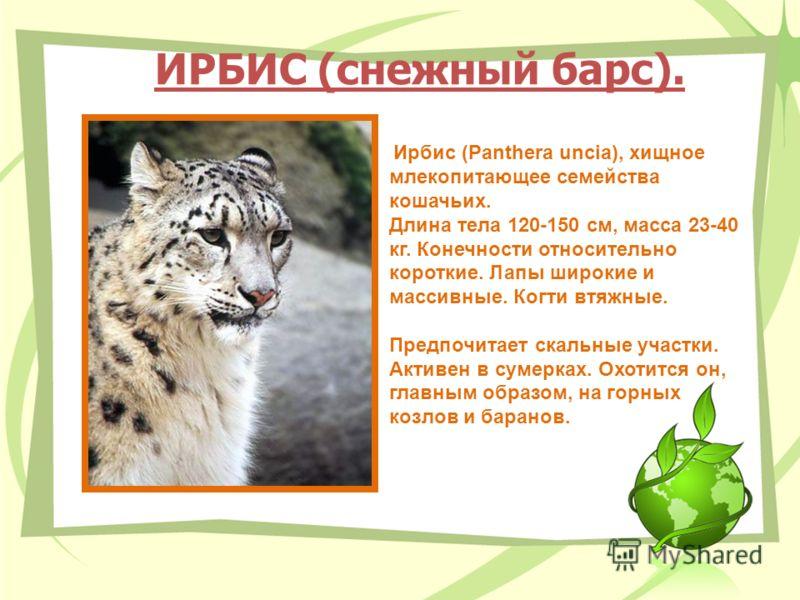 ИРБИС (снежный барс). Ирбис (Panthera uncia), хищное млекопитающее семейства кошачьих. Длина тела 120-150 см, масса 23-40 кг. Конечности относительно короткие. Лапы широкие и массивные. Когти втяжные. Предпочитает скальные участки. Активен в сумерках