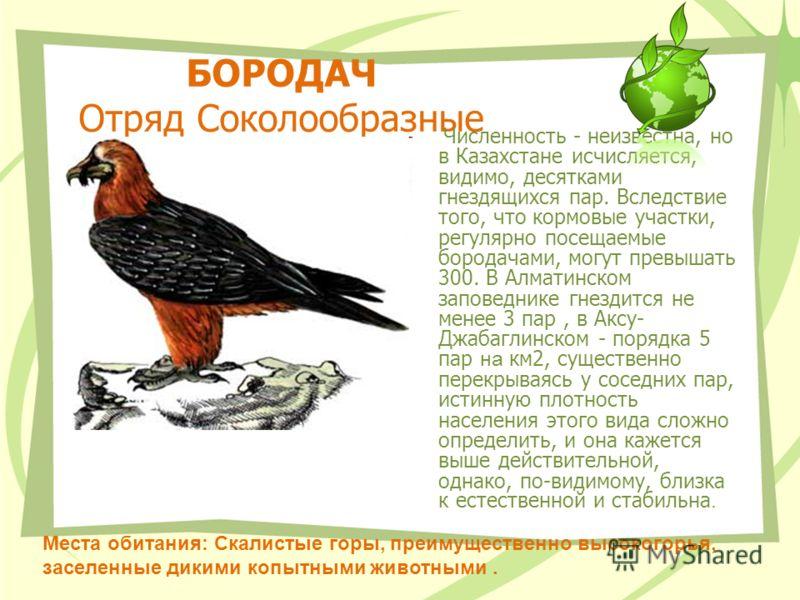 БОРОДАЧ Отряд Соколообразные Численность - неизвестна, но в Казахстане исчисляется, видимо, десятками гнездящихся пар. Вследствие того, что кормовые участки, регулярно посещаемые бородачами, могут превышать 300. В Алматинском заповеднике гнездится не