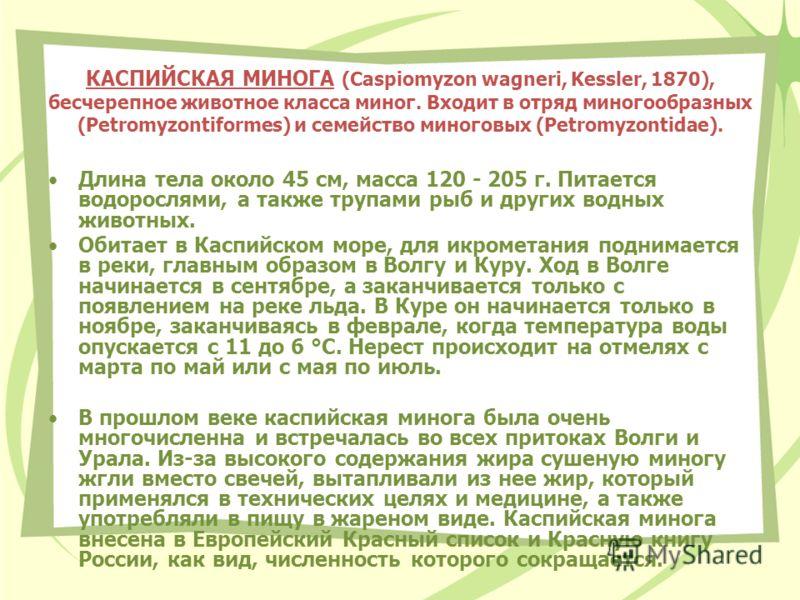 КАСПИЙСКАЯ МИНОГА (Caspiomyzon wagneri, Kessler, 1870), бесчерепное животное класса миног. Входит в отряд миногообразных (Petromyzontiformes) и семейство миноговых (Petromyzontidae). Длина тела около 45 см, масса 120 - 205 г. Питается водорослями, а