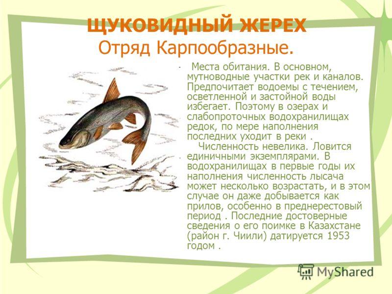 ЩУКОВИДНЫЙ ЖЕРЕХ Отряд Карпообразные. Места обитания. В основном, мутноводные участки рек и каналов. Предпочитает водоемы с течением, осветленной и застойной воды избегает. Поэтому в озерах и слабопроточных водохранилищах редок, по мере наполнения по
