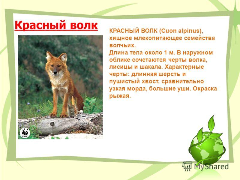 Красный волк КРАСНЫЙ ВОЛК (Сuon alpinus), хищное млекопитающее семейства волчьих. Длина тела около 1 м. В наружном облике сочетаются черты волка, лисицы и шакала. Характерные черты: длинная шерсть и пушистый хвост, сравнительно узкая морда, большие у