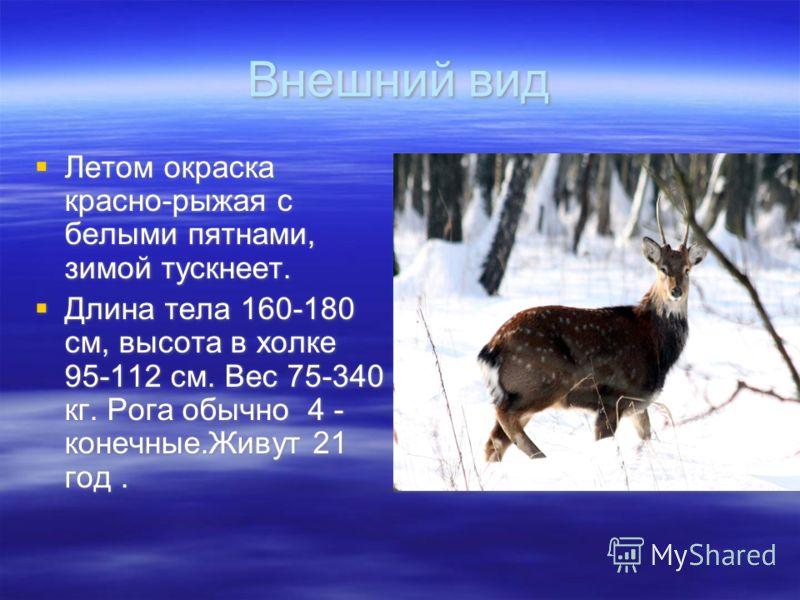 Внешний вид Летом окраска красно-рыжая с белыми пятнами, зимой тускнеет. Длина тела 160-180 см, высота в холке 95-112 см. Вес 75-340 кг. Рога обычно 4 - конечные.Живут 21 год. Летом окраска красно-рыжая с белыми пятнами, зимой тускнеет. Длина тела 16